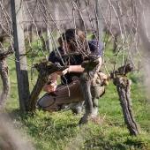   COUPE COUPE    ✂️   Les beaux jours sont déjà là. On s'active sur la taille des vignes, toujours avec amour, pour vous produire les meilleurs vins et armagnacs.  📸 @bennie.std   #chateaulaballe #armagnacisback #armagnac #armagnaclaballe #laballe #eaudevie #resistance #moments #ugniblanc #baco #folle #spirits #parleboscq #wine #winelovers #gascogne #gascon #taille #vigne #vine #vineyard