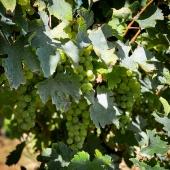   COMING SOON ⏱  .  Les vendanges approchent, encore quelques jours de soleil, et hop on ramasse 🧑🏼🌾 . The harvest is coming, a few more days of sunshine, and we pick up 😋 • #colombard #vendange #laballe #vin #armagnac #2020 #armagnacisback
